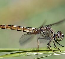 details of a dragonfly by phchristophe