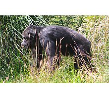 Chimpanzee...... Photographic Print