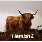 Hamish the  Hielan Coo by Alexander Mcrobbie-Munro