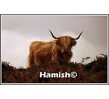 Hamish the  Hielan Coo Photographic Print