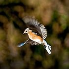Hovering Blue Bird by imagetj