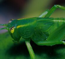 Grass hopper by David  Hall