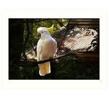 Sulphur Crested Cockatoo, Warburton Art Print