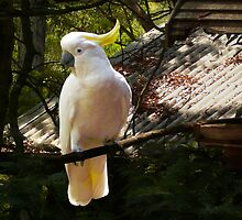 Sulphur Crested Cockatoo, Warburton by Roz McQuillan