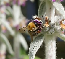 Bee on Lambs Ear III by shane22