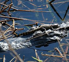 Baby Gator & Mother by jrhall19