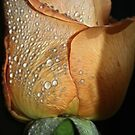 Dew Drops on Peach Rose by Lesley Smitheringale