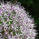 Allium Flower (Macro) by David Gutteridge