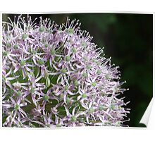 Allium Flower (Macro) Poster