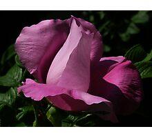 dark beach rose Photographic Print