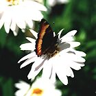 Butterfly on a Daisy by Chelsey Krause