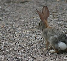 Desert Cottontail  by RichImage