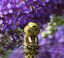 Dragonfly on a Buddleia 2 by bubblebat