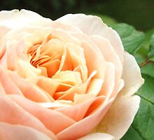 Pink Rose by David Gutteridge