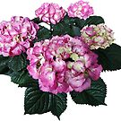 Circle of Pink Hydrangea by Susan Savad