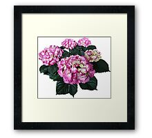 Circle of Pink Hydrangea Framed Print