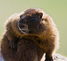 A Clean Marmot Is A Happy Marmot by Jay Ryser