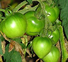 Tomatoes on the Vine by Tammy F