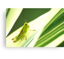 Pinstripe Hopper Canvas Print