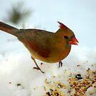 Winter Female Cardinal by Paul Gitto