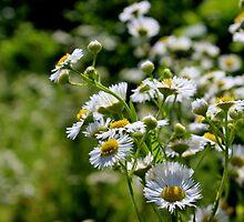 Meadow Flowers: Daisy Fleabane by Kathleen Daley
