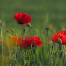 Poppies' dance. by jhawa