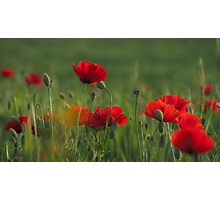 Poppies' dance. Photographic Print