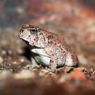 Red-spotted Toad by Daniel J. McCauley IV