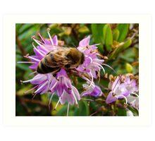 Bee on Hebe Art Print