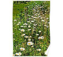 Meadow Flowers: Ox-eye Daisy Poster
