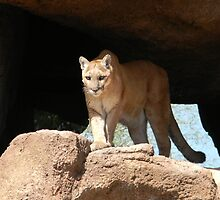 Mountain Lion by Kathleen Brant