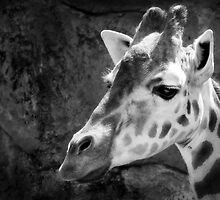 Giraffe I by Mark Moskvitch