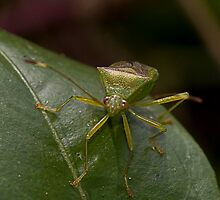 Stink Bug by Rodney Wratten