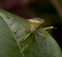 Stink Bug by Rodney Wratten