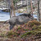 Wild Boar - Omega Park by Poete100