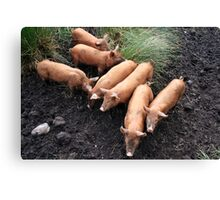 Seven little pigs Canvas Print