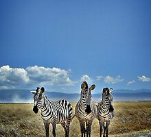 Zebra Trio by Scott Ward