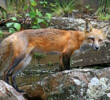 """""""Little Red Fox"""" by Vickie Emms"""