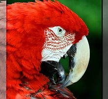 Parrot king by adriano