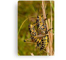 Southeastern Lubber Grasshopper Mates Canvas Print