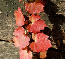 Autumn Creeper 1 by michaelshelley