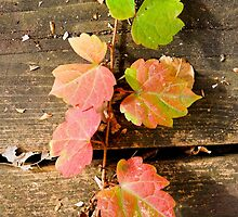 Autumn Creeper 2 by michaelshelley