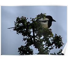 Magpie at sunset Poster