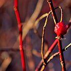 Red Winter Splendour  by Kathleen Daley