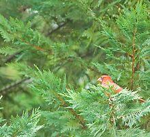 Cardinal in Evergreen by Todd Ward