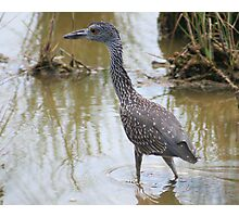 Young Yellow Crowned Night Heron Photographic Print