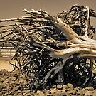 Roots by Zolton