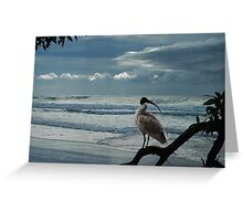 sacred white ibis Greeting Card
