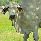 Brahmin Bull Portrait by Penny Smith