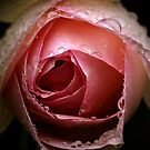 The Rose by David Mapletoft